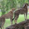 Kalahari , the King Cheetah and friend..jpg